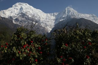 Annapurna South, Hiun Chuli a kvitnce rododendrony v doline Modi Khola