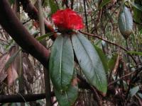 V rododendrónovom pralese